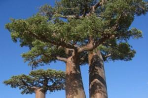 Le Baobab qui produit un des fruits les plus riche en antioxydants naturels puissants