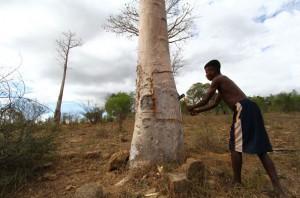 Récolte de l'écorce de Baobab, qui repoussera très rapidement.