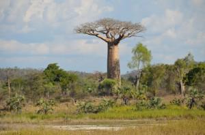 Le baobab ou L'arbre de vie