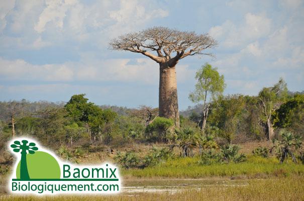 le fruit du baobab bio. Black Bedroom Furniture Sets. Home Design Ideas