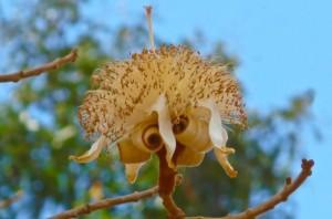 La fleur du Boabab