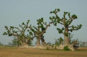 Le Baobab au pouvoir de régénérescence incroyable au profit de la santé humaine