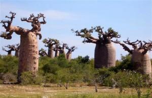 Le baobab produit un fruit, le pain de singe bio