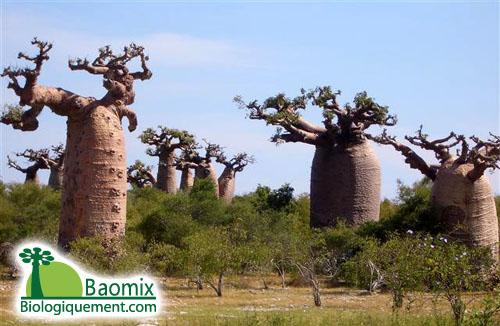 le fruit du baobab le pain de singe une pharmacie vitalit elle seule fruit de baobab. Black Bedroom Furniture Sets. Home Design Ideas