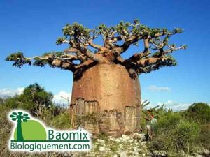 L'arbre à l'envers, le baobab qui produit le pain de singe bio